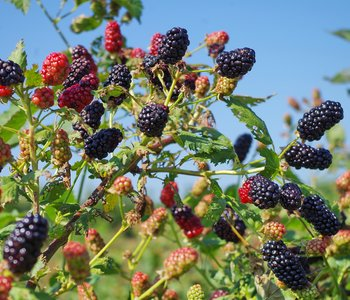 AGCAST: Blackberry Growers Gather