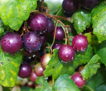 Muscadine: The Natural State Grape