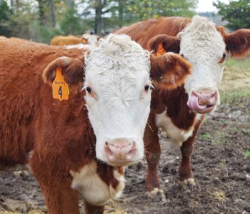 Cattle Auction Reports