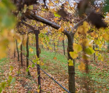 Grape Country Deals with Storm Remnants