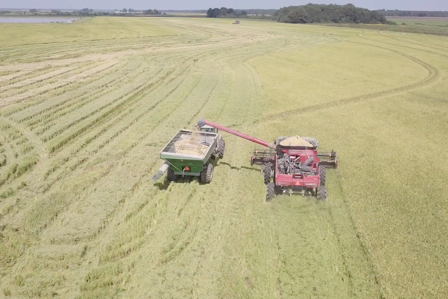 VIDEO: Bringing in the Rice Harvest