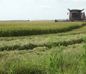 VIDEO: Rice Harvest Update from C.J. Parker
