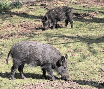 VIDEO: The Feral Hog Fight